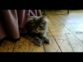 Carolyn and Tommy Braden Present: Monica the Maine Coon and Friends! 5 months old view on youtube.com tube online.