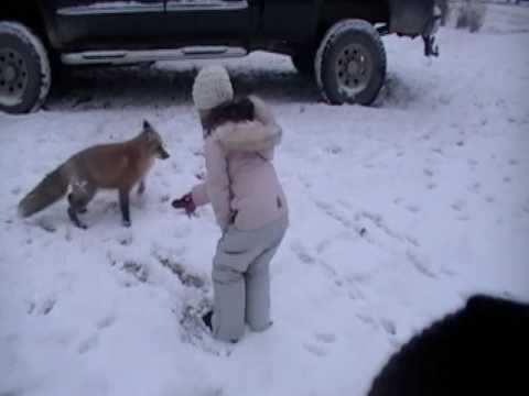 Hand Feeding a Red Fox