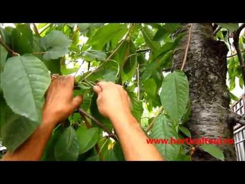 www.horticultorul.ro Altoirea Pomilor Fructiferi  Vara-Toamna