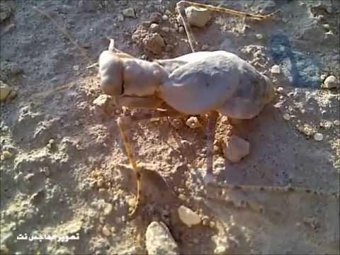 Aneh `Batu Meloncat` Hebohkan Saudi