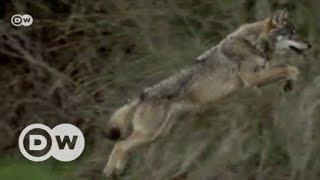 Spain's wolfman and the dark side of civilization   DW English - DEUTSCHEWELLEENGLISH