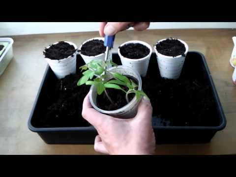 Sow Along, Pricking Out and Transplanting Tomato Seedlings - Week 4