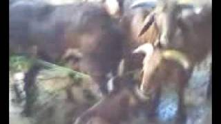 GOATS FOR SLAUGHTER AT EID UL ADHA VIDEO TAKEN ON 27.11.09 AT MY HOME (1).3gp view on youtube.com tube online.
