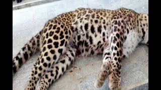 In Graphics: Leopard killed in Lucknow - ABPNEWSTV