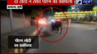वाराणसीः दो साडों के लड़ने की वजह से पीएम मोदी का काफिला रोकना पड़ा, अधिकारियों में मचा हड़कंप - ITVNEWSINDIA