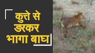 Watch : Dog chases tiger in field   खेत में घुसे बाघ को कुत्ते ने दौड़ाया - ZEENEWS