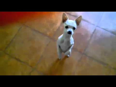 Chihuahua tańczy salsę