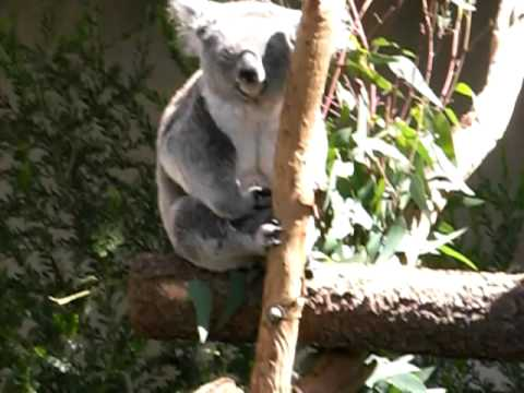 Cute Koala bears at San Diego Zoo #1