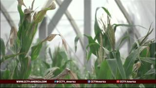 See the news report video by China's water woes: Cash-for-crops farming