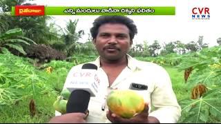 బొప్పాయి సాగుతో రైతుల నష్టాల బాట | Farmer's Losses with Papaya Cultivation |Srikakulam |Raithe Raju| - CVRNEWSOFFICIAL