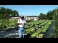 Lotus Research, water garden flowers, nelumbo, blooming lotus, lotus flowers