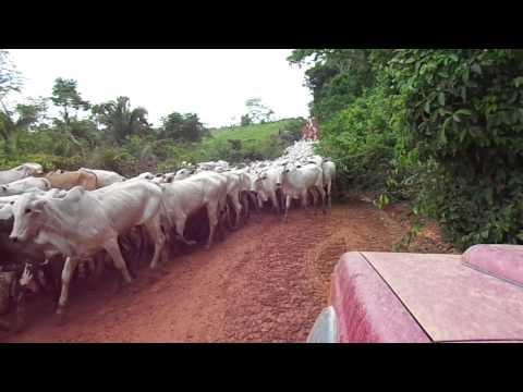 Boiada na estrada Mato Grosso