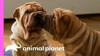 These Wrinkly Shar-Pei Pups Are Leaning To Be The Best Guard Dogs! | Too Cute! - ANIMALPLANETTV