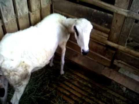 Anak-anak domba Saung Domba International