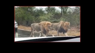 Amazing  pride of lions spotted on the road - TIMESOFINDIACHANNEL