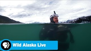 WILD ALASKA LIVE | Alaska's Most Surprising Predator: The Salmon Shark | PBS - PBS