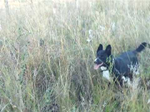 patch the border collie x kelpie amazing springing dog