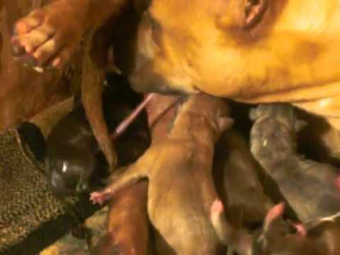 american bully pit bull giving birth to 12 puppies candy lbk