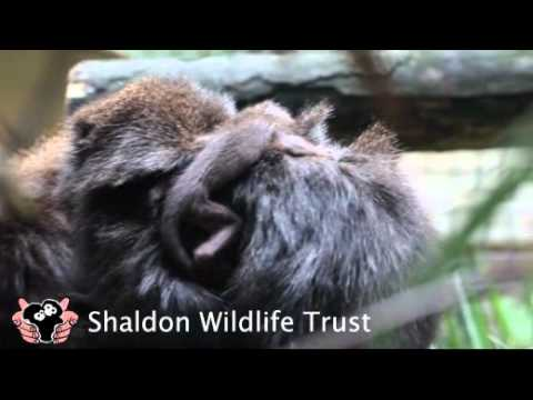 Shaldon Zoo Red Titi Monkey Birth