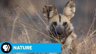NATURE | Dogs in the Land of Lions | Preview | PBS - PBS