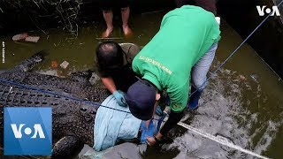 Indonesian Authorities Seize Killer Crocodile - VOAVIDEO