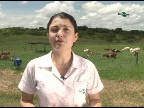 Pastagem cultivada para produção de leite de cabra - Dia de Campo na TV