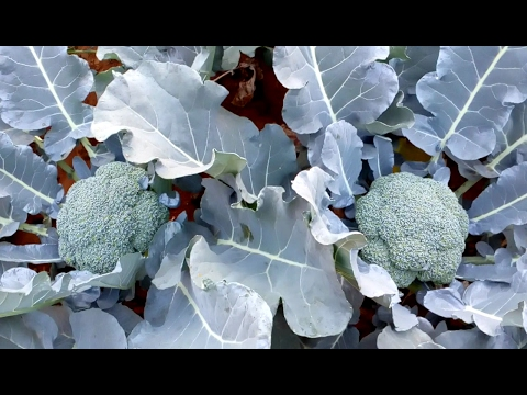 How to grow Broccoli from planting without greenhouse (Experimental)