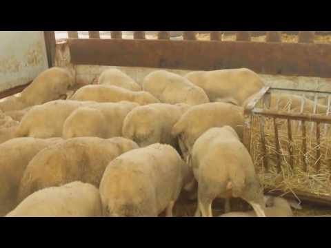sheeps lacuane Πρόβατα λακόν Φάρμας Αλ.& I. Καλαϊτσίδη 6943837926