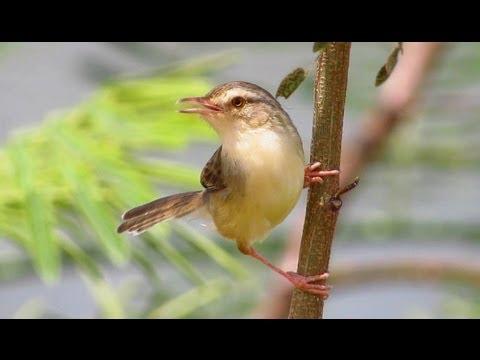 Plain Prinia - Birdwatching Thailand