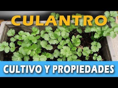 CULTIVO Y PROPIEDADES DEL CULANTRO