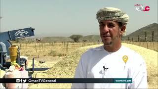 ربط مباشر من ولاية #محضة بمحافظة #البريمي للحديث حول موسم حصاد القمح