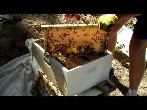 Beekeeper- 3rd, 7 week Follow up on Honeybee Swarm