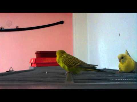 My Budgies Mating Parakeets-Tigrici Parenje Papagaji.