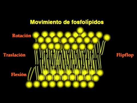 mov fosfolipidos
