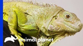 Dr.Ross Finds Abscess On Iggy The Iguana's Tail | The Vet Life - ANIMALPLANETTV