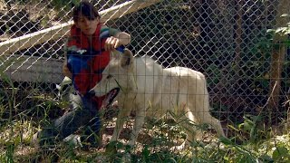 If You're Vaccinating A Wolf-Dog, You Have To Corral Him First - ANIMALPLANETTV