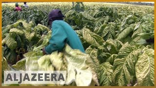 🇿🇼 Zimbabwe seizure of tobacco farms hamper production | Al Jazeera English - ALJAZEERAENGLISH