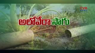 Commercial Aloe Vera Cultivation Profits | Successful Farming | Raithe Raju - CVRNEWSOFFICIAL