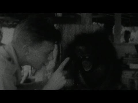 Treating Charlie the Orangutan - Zoo Quest for a Dragon - BBC Four Attenborough Collection