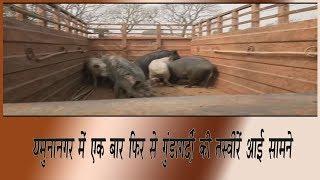 video : यमुनानगर में सूअर पकड़ने आये निगम अधिकारीयों पर कुछ लोगों ने किया हमला