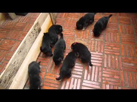 German Shepherd Puppies 3