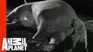 Hiena obtiene fea sorpresa al comer elefante por el ano