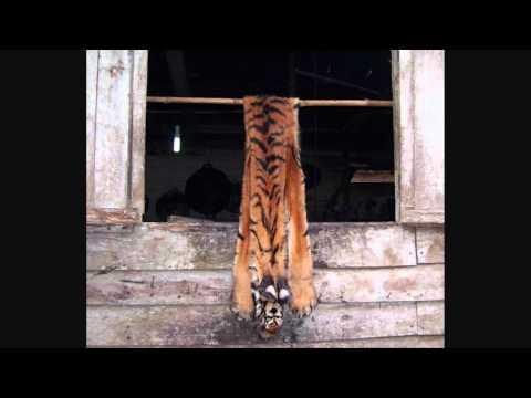 Help the sumatran tiger.!!!!