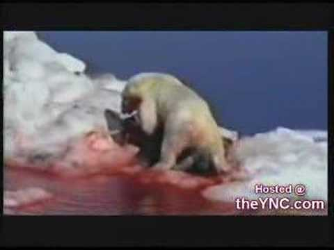 polar bear vs walrus
