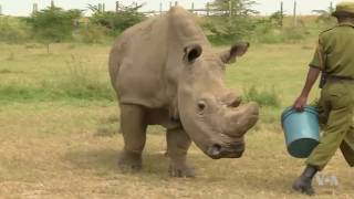Once the World's 'Most Eligible Bachelor' and Only White Rhino Dies - VOAVIDEO