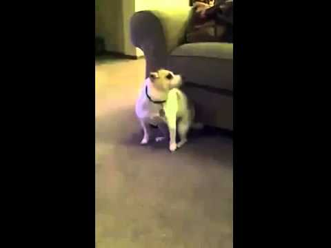 Video Gracioso , Perro perreando | Funniest video Dog twerking
