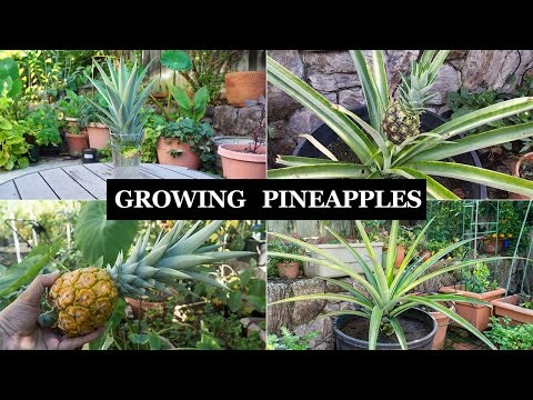 The Joy Of Growing Pineapples - How To Grow Pineapple Plants In Containers