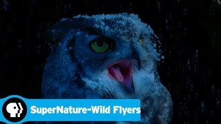 SUPERNATURE - WILD FLYERS | A Flying Squirrel's Greatest Threat | PBS - PBS