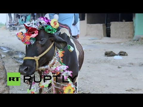 El ritual hindú más pesado: Dejarse pisotear por vacas sueltas