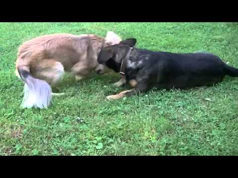 Smieszna walka psów śmieszne zwierzęta 2014